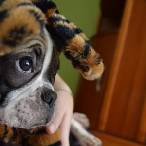 Novo Membro da Família: Boris, o bulldog francês