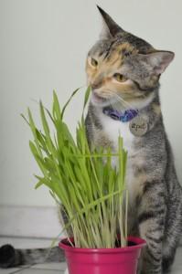 Graminha de Milho para Gatos